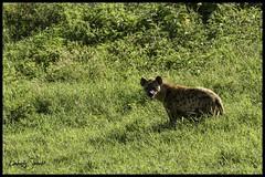 Distant Hyhena (SpacePaparazzi.com) Tags: tanzania africa southeastafrica safari seringetti ngorongorocrater hyhena