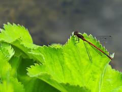 frühe Adonislibelle (lebastian) Tags: panasonic dmcgx8 olympus m60mm f28 macro libelle insect insekt adonislibelle makro makrofotografie