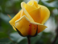 2019 #105 (David S Wilson) Tags: england flowers cambridgeshire olympuspenf leica2845mmmacro ely davidswilson 2019 lightroom floral