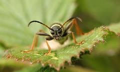 Clytus arietis (jon. moore) Tags: clytusarietis waspbeetle highgatecommon staffordshire coleoptera cerambycidae