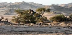 Oryx (Trouvaille Blue) Tags: africa namibia kaokoveld orys desert mountains scrub bush trouvailleblue kunene hoanib