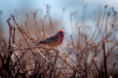 House Finch (jeco) Tags: costateparks barrlakesp unfound birds backyardbirds animals selects locations co nature colorado location faved 15fav flickrd flick