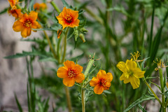 Knee Height (davidseibold) Tags: america blazingstar california colororange coloryellow jfflickr kerncounty nature photosbydavid plant postedonfb postedonflickr rancheriaroad unitedstates usa wildflower bakersfield unitedstatesofamerica
