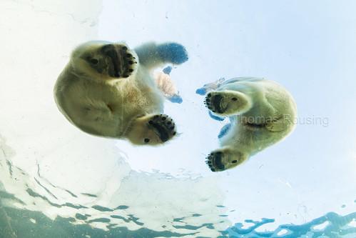 Dancing polar bears