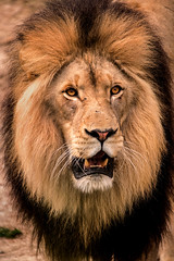 Male Lion-DC 3-0 F LR 4-9-19 J194 (sunspotimages) Tags: animal animals lion lions malelion malelions nature wildlife zoo zoos nationalzoo