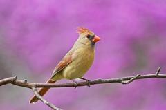 female cardinal on purple (G_Anderson) Tags: missouri backyard birds birding spring cardinal