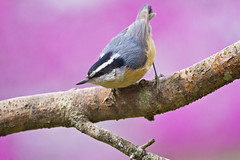 red breast posed down (G_Anderson) Tags: missouri backyard birds birding spring nuthatch