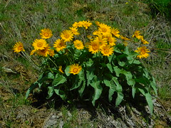 Balsam Root (Pictoscribe) Tags: pictoscribe leavenworth wildflowers balsam root spring april 15 2019