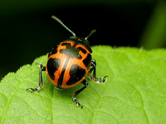 Milkweed Leaf Beetle (treegrow) Tags: rockcreekpark washingtondc nature lifeonearth raynoxdcr250 arthropoda insect beetle coleoptera chrysomelidae labidomeraclivicollis
