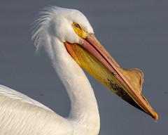 American White Pelican (Pelecanus erythrorhynchos) (mesquakie8) Tags: bird pelican swimmingandresting adults americanwhitepelican pelecanuserythrorhynchos awpe rockcutstatepark winnebagocounty illinois 3750