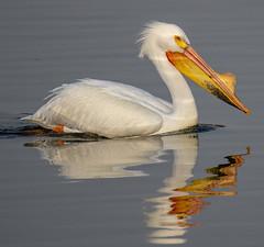 American White Pelican (Pelecanus erythrorhynchos) (mesquakie8) Tags: bird pelican swimmingandresting adults americanwhitepelican pelecanuserythrorhynchos awpe rockcutstatepark winnebagocounty illinois 3716