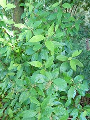 Argophyllum nullumense 1 (nbgact) Tags: australian national botanic gardens canberra act barry m ralley barrymralley dicotyledons