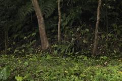 螢火蟲疊圖 (MIN603) Tags: 25mmf17 g9 panasonic lumix 新店 和美山 螢火蟲 疊圖 m43 新北市