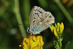 Bläuling (Hugo von Schreck) Tags: hugovonschreck macro makro insect insekt butterfly schmetterling bläuling fantasticnature canoneos5dsr tamron28300mmf3563divcpzda010
