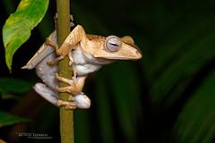 Polypedates otilophus (Matthieu Berroneau) Tags: frog toad amphibian sony alpha ff 24x36 macro nature wildlife animal fe 90 f28 g oss fe90f28macrogoss sonya7iii sonya7mk3 sonyalpha7mark3 sonyalpha7iii a7iii 7iii 7mk3 sonyilce7m3 sonyfesonyfe2890macrogoss objectifsony90mmf28macrofe sel90m28g herp herping trip malaysia malaisie borneo bornéo polypedates otilophus polypedatesotilophus eared borneoearedfrog fileeared tree fileearedtreefrog rainettedesumatra rainette de sumatra