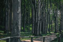 Beech wood (michael_hamburg69) Tags: nienhagen germany deutschland mecklenburgvorpommern rostock wald wood trees gespensterwald nienhägerholz laubbäume buchen eichen mischwald oak beech tree