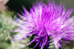 Thistle 2019-03-31 (5D_32A2131) (ajhaysom) Tags: thistle jenolancaves newsouthwales canoneos5dmkiii canon100mmlmacro 100flowers2019 image49100