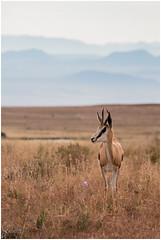 Springbok (Don Chisciotte89) Tags: africa sudafrica southafrica antelope mountainzebra