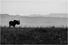 Black Wild beast (Don Chisciotte89) Tags: wildbeast africa southafrica sudafrica gnu sanp sunset savana bush mountainzebra