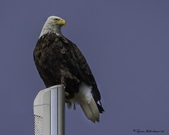 2I1A9360zz (lfalterbauer) Tags: americanbaldeagle nature canon 7dmarkii wildlife photographer adobe flicker raptor birdsofprey symbol tower perch ornithology avian camera dslr digital