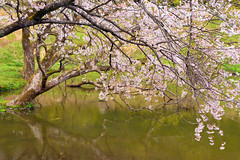 DSC_0061_001 (Medelwr) Tags: 春 spring tree 木 日本 japan green 緑 桜 cherryblossoms water 水 reflection mirror リフレクション