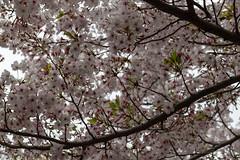sakura(櫻花) (Hideki Iba) Tags: nikon d850 58mm sakura blossom flower 櫻花 さくら サクラ kobe japan tree