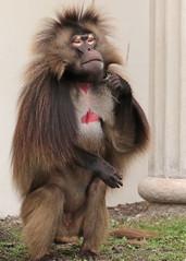 Gelada Blijdorp 094A0652 (j.a.kok) Tags: animal africa afrika aap blijdorp mammal monkey gelada baboon baviaan roodborstbaviaan zoogdier dier primate primaat