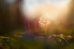 Basanemoon in gouden avondlicht. (look to see) Tags: bosanemoon anemonenemorosa bokeh flare avondlicht goldenhour goud gold warm vintagelens helios442 f2 58mm sintmaartensheide beek bree belgium 2019 spring lente
