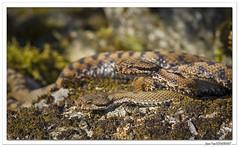 Reptiles en Alsace : C'est le printemps ! (C. OTTIE et J-Y KERMORVANT) Tags: nature animaux reptiles vipères vipèreaspic alsace france
