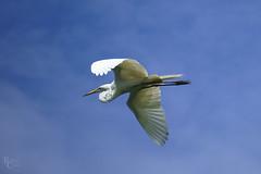 Egret in Flight (RobertCross1 (off and on)) Tags: a7rii alpha beaufort e55210mmf4563oss emount ilce7rm2 sc sony south southcarolina bird bluesky egret fullframe greategret heron mirrorless telephoto