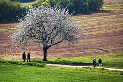 Promenade dominicale (Lucille-bs) Tags: europe france bourgognefranchecomté bourgogne côtedor ahuy paysage printemps arbre champ promeneur chemin