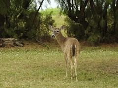 Texas White-tail Deer (pamfromcalgary) Tags: texas kingranch pamhawkes animal deer whitetaildeer