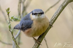Eurasian Nuthatch (Sitta europaea) (PhasmatosOculus) Tags: lynfordarboretum lynford thetfordforest thetford norfolk thetfordfoestrycommission riverwissey lynfordwater wisseyvalley april 2019 april2019 bird birds wildlifeanimal wildlife animal animals wildlifeanimals matthewfarrugia matthew farrugia centricmalteser canon6dmkii canon 6d mkii eos6dmkii canoneos6dmkii eos canoneos eastanglia 6dmkii phasmatosoculus eurasiannuthatch sittaeuropaea eurasian nuthatch sitta europaea