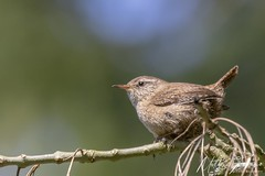 Eurasian Wren (Troglodytes troglodytes) (PhasmatosOculus) Tags: lynfordarboretum lynford thetfordforest thetford norfolk thetfordfoestrycommission riverwissey lynfordwater wisseyvalley april 2019 april2019 bird birds wildlifeanimal wildlife animal animals wildlifeanimals matthewfarrugia matthew farrugia centricmalteser canon6dmkii canon 6d mkii eos6dmkii canoneos6dmkii eos canoneos eastanglia 6dmkii phasmatosoculus eurasianwren troglodytestroglodytes eurasian wren troglodytes