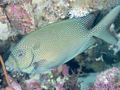 Gold-spotted rabbitfish (Siganus punctatus)