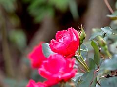 P1010035 -1r (hyphy2008) Tags: zeiss sonnar 135mm f4 contax rf bokeh flowers garden