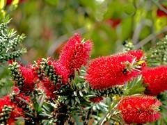 P1010033 -2 (hyphy2008) Tags: zeiss sonnar 135mm f4 contax rf bokeh flowers garden