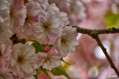 Blossom (antoahanya) Tags: spring flora flowers flowerscolors bright bloom blossom pink pastel fragility plants nature natural color outdoor outside garden trees petal