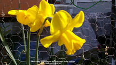 Mini-Daffs flowering on balcony seen from outside 15th April 2019 007 (D@viD_2.011) Tags: minidaffs flowering balcony seen from outside 15th april 2019