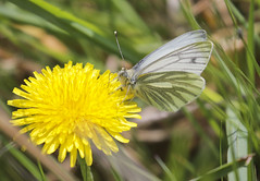 Photo of Butterfly - Green-veined White