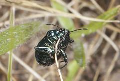 Photo of Blue Shieldbug - Zicrona caerulea