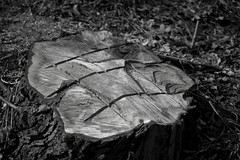 Was Killing Me Not Enough? (Robin Shepperson) Tags: death human arrogance arrogant destruction tree torture cuts chopped down d3400 nikon berlin germany monochrome blackandwhite cut chainsaw