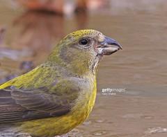 Crossbill female (Gary Chalker, Thanks for over 4,000,000. views) Tags: crossbill finch bird pentax pentaxk3ii k3ii pentaxfa600mmf4edif fa600mmf4edif fa600mm 600mm