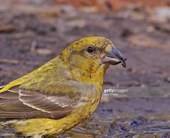 Crossbill female (Gary Chalker, Thanks for over 4,000,000. views) Tags: crossbill bird finch pentax pentaxk3ii k3ii pentaxfa600mmf4edif fa600mmf4edif fa600mm 600mm