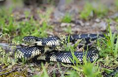 Eastern Black Kingsnake (cre8foru2009) Tags: approved lampropeltisnigra kingsnake blackkingsnake herping snake reptile