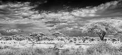 TANZANIA 12 (Nigel Bewley) Tags: tanzania africa wildlife nature wildlifephotography nigelbewley photologo appicoftheweek safari gamedrive sky clouds blackandwhite march march2019 canonef1635mmf28lusm canon5dmkii 830nm infrared digitalinfrared advancedcameraservices blackwhite creativephotography artphotography ngorongoro maraboustork leptoptiloscrumeniferus