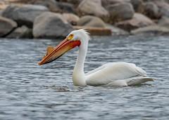Monona-Bay-Pelican_MFD2487-FLNS-5 (M F Davis) Tags: americanwhitepelican mononabay madisonwisconsin madison wisconsin bay lake water large bird white pelican monona lakemonona