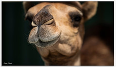 Camels Nose (Bear Dale) Tags: nikon d850 nikkor afs 70200mm f28e fl ed vr camels nose ulladulla southcoast new south wales shoalhaven australia beardale lakeconjola fotoworx milton nsw nikond850 photography framed nature muzzle