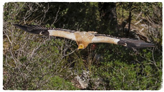 Egyptian Vulture (Neophron percnopterus) 'L' for large (hunt.keith27) Tags: neophronpercnopterus egyptianvulture white scavengervulture pharaohschicken scavenger vulture spain menorca oldworldvulture raptor bird flying algendargorge southern limestone plateau calagaldana prey feathers talons wedgeshapedtail canon 7dmk2 animal sky hawk