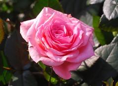 Jesu, helle Gnadensonne (amras_de) Tags: rose rosen ruža rosa ruže rozo roos arrosa ruusut rós rózsa rože rozes rozen roser róza trandafir vrtnica rossläktet gül blüte blume flor cvijet kvet blomst flower floro õis lore kukka fleur bláth virág blóm fiore flos žiedas zieds bloem blome kwiat floare ciuri flouer cvet blomma çiçek